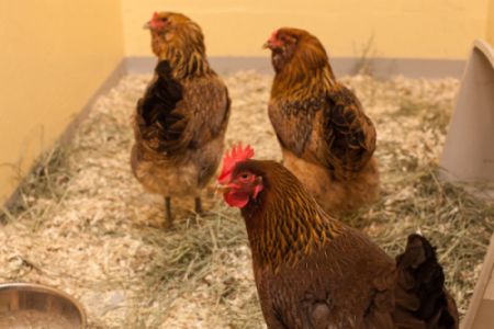 Adoptable chickens at the Seattle Animal Shelter